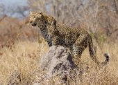 Leopard on termite mound, South Africa — Stock Photo