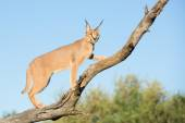 A young Caracal in a tree, South Africa — Stock Photo