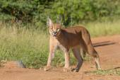 A young Caracal in South Africa — Stock Photo