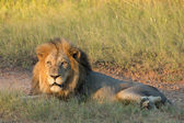 Male African Lion, South Africa — Stock Photo