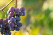 Treated blue grapes with cupric sulphate — Stock Photo