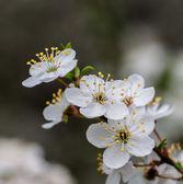 Flowers fruit trees. — Stok fotoğraf