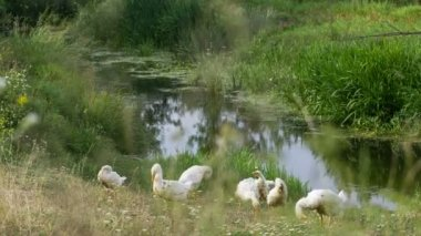 White geese are grazing on the farm. — Stock Video
