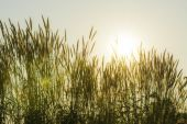 Grass flower and sunset — Stock Photo