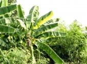 Tree of green bananas — Stock Photo