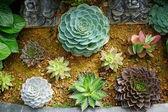Succulent flower — Stock Photo