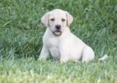Chiot Labrador — Photo