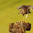 Montagu's harrier — Stock Photo #58976367