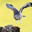 Montagu's harrier — Stock Photo #58976375