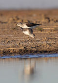 Pair of course Redshank — Stockfoto