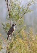 Great reed warbler — Stock Photo