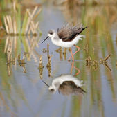 Winged stilt — Photo