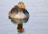 Common goose — Stock Photo