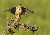 Songbird — Stock Photo