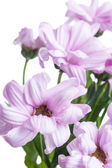 Aster. Beautiful flower on light background — Stock Photo