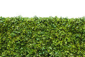 Green hedges with grass — Stock Photo