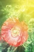 Bee on poppies rays of the sun — Stock Photo