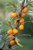 Sea buckthorn berries in a tree — Stock Photo