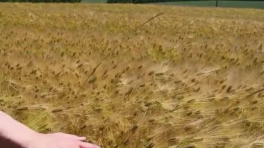 Hand touches the ears of wheat on the field — Stock Video