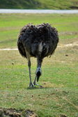 Ostrich on the grass run and look on the ground zero — Stock Photo