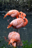 Pink flamingo on the river water — Stock Photo
