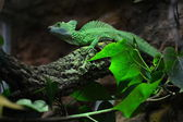 Green basilisk on a tree want to hunt an insect — Stock Photo