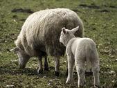 Pecore — Foto Stock
