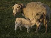 Koyunları — Stok fotoğraf