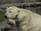 White polar bear — Stock Photo