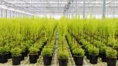 Migliaia di piccole conifere in una serra di vetro — Foto Stock
