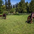 Mares and Fillies Grazing in a Meadow — Stock Photo #75591041