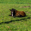 Filly laying down in the Meadow — Stock Photo #75595895