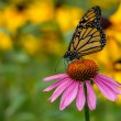 A Monarch Butterfly on a purple Echinacea cone flower — Stock Photo #80174448