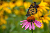 A Monarch Butterfly on a purple Echinacea cone flower — Stock Photo