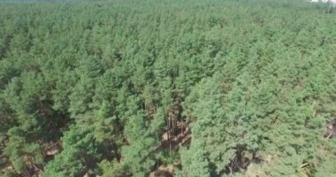Flying above the green coniferous forest — Stock Video