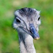 Portrait of African ostrich (Struthio camelus) — Stock Photo