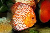 Tropical Fish — Stock Photo