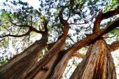 Towering Old Trees — Stock Photo
