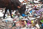 Cows eating trash at illegal landfill — Stock Photo