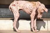 Plague dog — Stock Photo