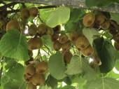 Kiwi tree filled with crop of kiwi — Stock Photo