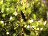 Seychelles palm spider — Stock Photo