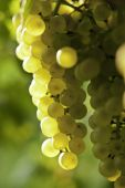 A green-yellow skinned grape  — Stock Photo