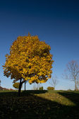 Yellow leaved maple tree in the fall — Zdjęcie stockowe