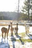 Alpacas on a farm — Stock Photo