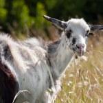 Hornless goat — Stock Photo #60047249