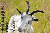 Eating nanny-goat — Stock Photo