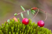 Berry cranberries and moss — Stock Photo