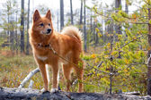 Hunting dog on the fallen pine — Stock Photo