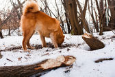 Hunting dog digging a hole — Stock Photo